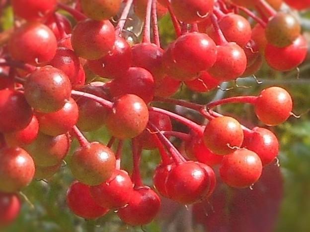 万両の赤い実たち