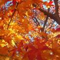 見上げれば~暖冬の師走の紅葉 in 瑠璃山~
