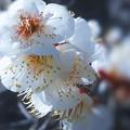 写真: 建国記念の日に 街で出会った 満開の白梅たち