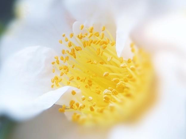 弥生の白い寒椿