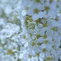 真っ白い春の雪のように~ユキヤナギ~