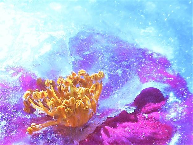立春の寒い朝@サザンカの花