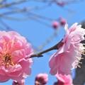 香(かぐわ)しき八重の紅梅@高諸神社周辺