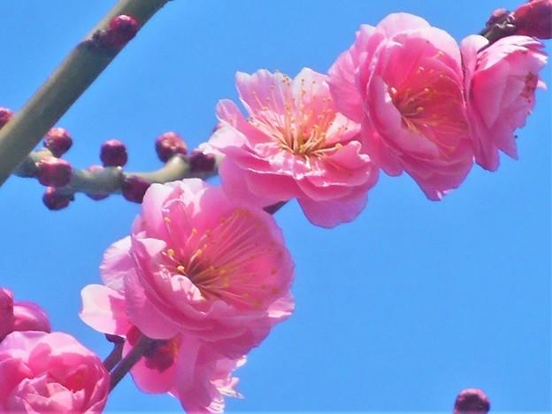 ほのかに香る八重の紅梅@高諸神社周辺