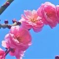 Photos: ほのかに香る八重の紅梅@高諸神社周辺