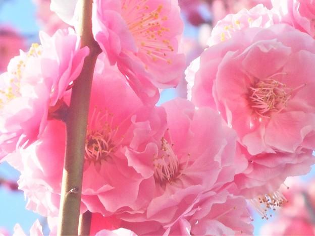 ほんのり香る@八重の紅梅が満開@高諸神社周辺