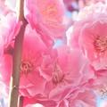 写真: ほんのり香る@八重の紅梅が満開@高諸神社周辺