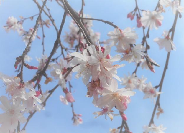 枝垂れ糸桜がちらほらと‥