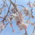 写真: 枝垂れ糸桜がちらほらと‥