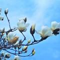 写真: 青空にハクモクレンの花