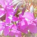 Photos: 早々と 芝桜の小花たち