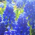 春の野にムスカリの花