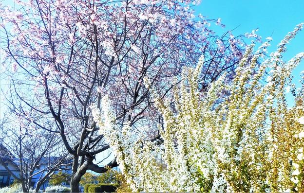 早咲き桜と雪柳