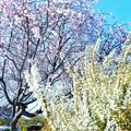 Photos: 早咲き桜と雪柳
