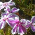 写真: ぽかぽかと春の陽気に芝桜@備後路