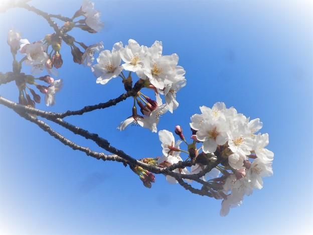 桜は五分咲き@三原城址周辺