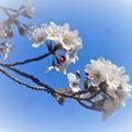 写真: 桜は五分咲き@三原城址周辺