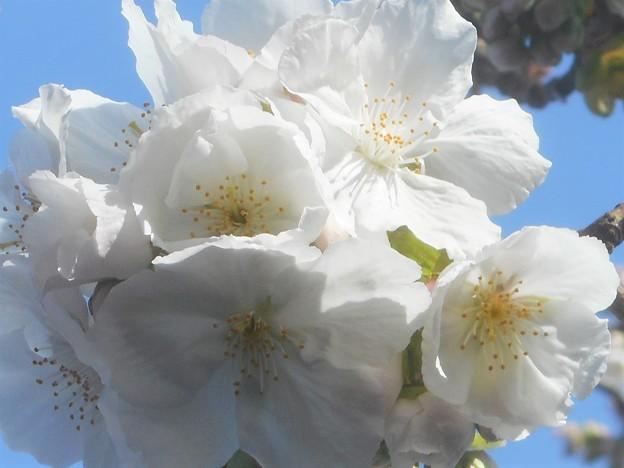 大輪の大島桜が開花@千光寺山@西展望台付近