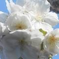 Photos: 大輪の大島桜が開花@千光寺山@西展望台付近