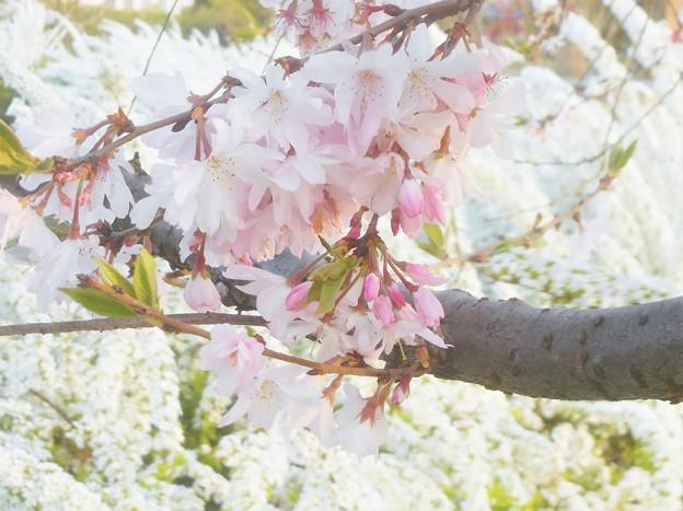 しだれ桜とユキヤナギ@芝生公園にて