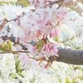 写真: しだれ桜とユキヤナギ@芝生公園にて