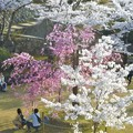 写真: 紅枝垂れ・千垂(ちだる)の桜@千光寺山
