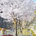 写真: 満開の桜@千光寺山・憩いの広場