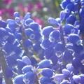 写真: ムスカリと芝桜(背景)@野辺に咲く