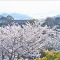 桜の季節@瀬戸内の春@千光寺山