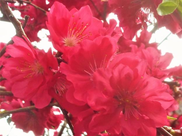 花桃が満開