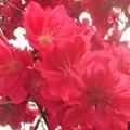 写真: 花桃が満開