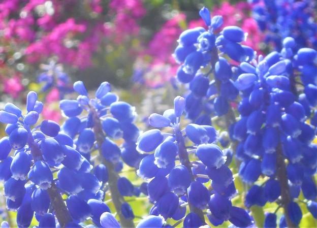 春風吹いて@ムスカリと芝桜(背景)