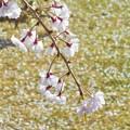 写真: 桜吹雪の日曜日@薄紅枝垂れ桜