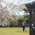 写真: 桜とゲートボール