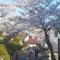 写真: 満開の桜の坂道@千光寺山