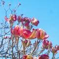 写真: 紅赤色のハナミズキも咲き出して