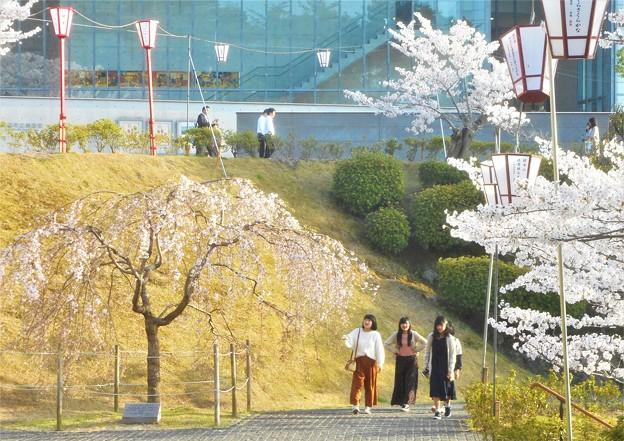 福島の三春滝桜(子孫樹)は早々と@千光寺山