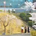 写真: 福島の三春滝桜(子孫樹)は早々と@千光寺山