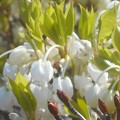 写真: 春めくドウダンツツジの花