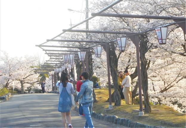 全山満開の桜の季節@千光寺山