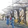写真: 全山満開の桜の季節@千光寺山