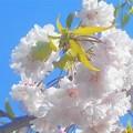 写真: 紅枝垂れ桜と葉桜@芝生公園