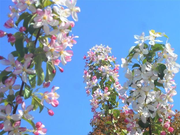 青い空に林檎(りんご)の花