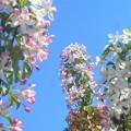 写真: 青い空に林檎(りんご)の花