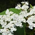 新緑に咲くコデマリの花@びんご運動公園