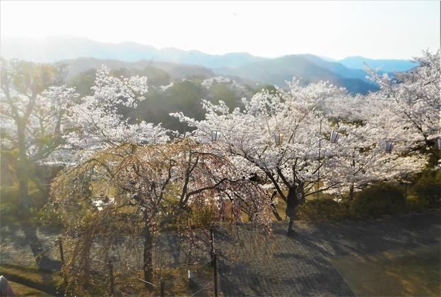 三春滝桜(子孫樹)と山並み@千光寺山