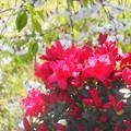 写真: 枝垂れ桜と躑躅(つつじ)の季節
