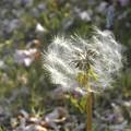 風に吹かれて@牡丹桜の木の下で@千光寺山