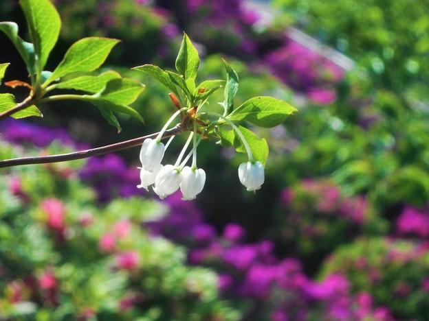 ドウダンツツジの白い花@躑躅の季節@千光寺山