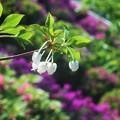 写真: ドウダンツツジの白い花@躑躅の季節@千光寺山